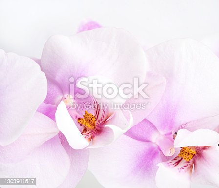a branch of a beautiful and pastel purple orchid phalaenopsis on a white background. Isolated, macro and close up image.