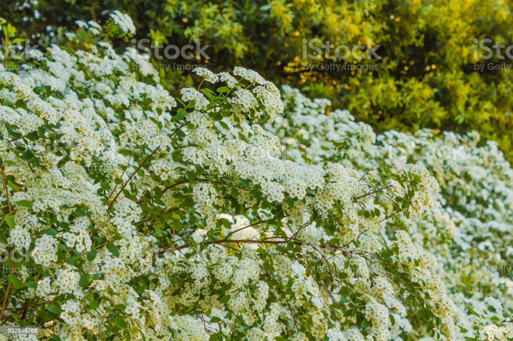 a branch of a hedge of flowered spirea stock photo