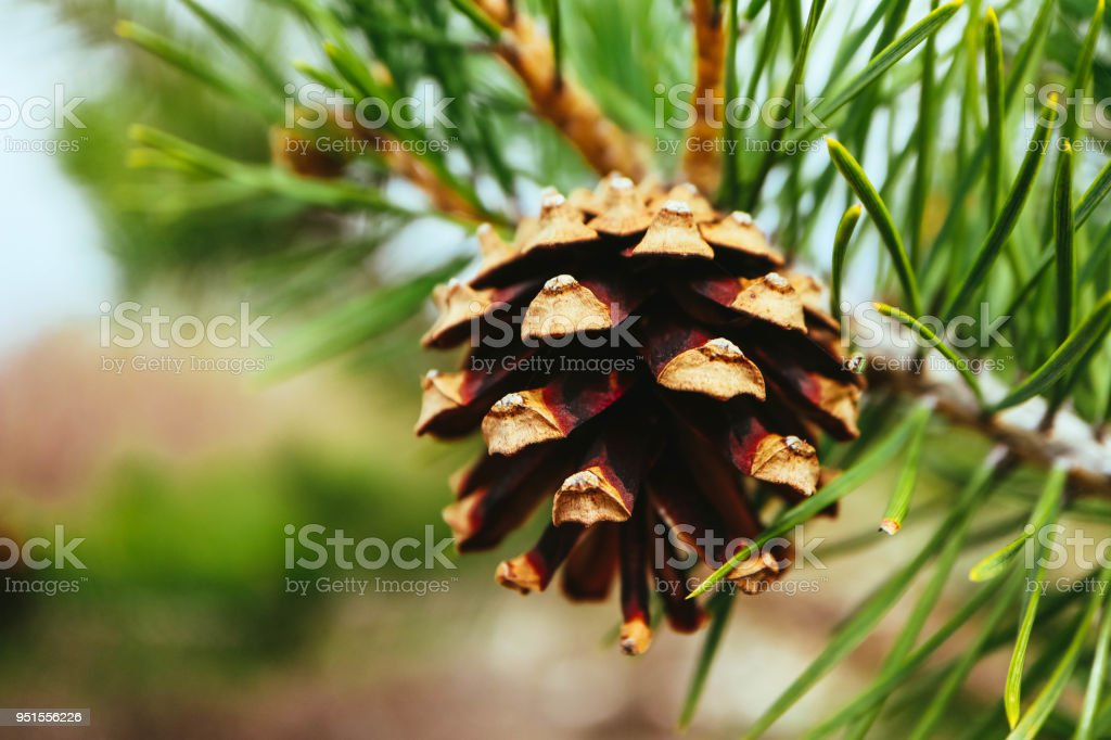 a bright evergreen pine three with pine cone on the branch. Fir-tree, conifer, spruce close up, blurred background. Europe, Balkan Mountains. stock photo
