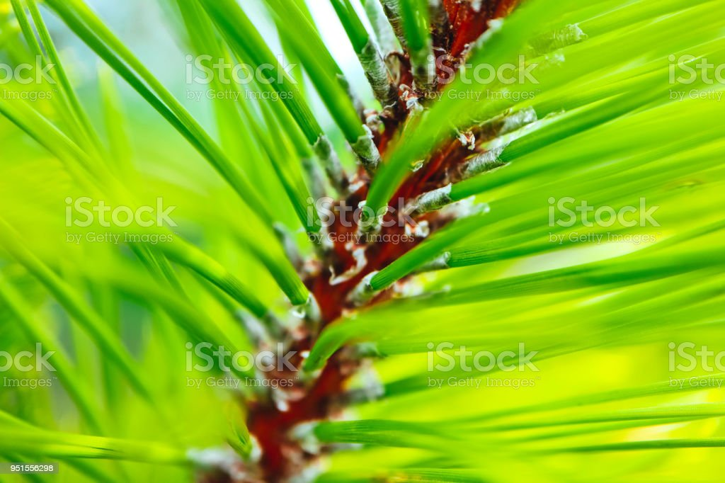a bright evergreen pine tree green needles branches. Fir-tree, conifer, spruce close up, blurred background. stock photo
