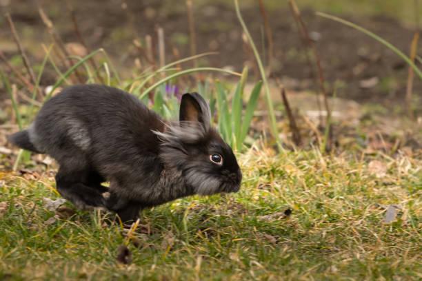 A brown dwarf rabbit showing his tongue picture id931209196?b=1&k=6&m=931209196&s=612x612&w=0&h=jgxclw7vdjuj1ufefxdscrudg01v7rvuj0z cocbuje=