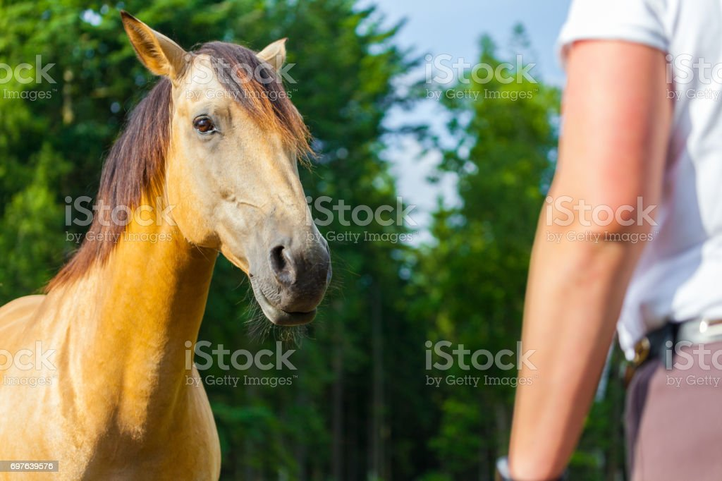 a brown horse looks to a horsewoman stock photo