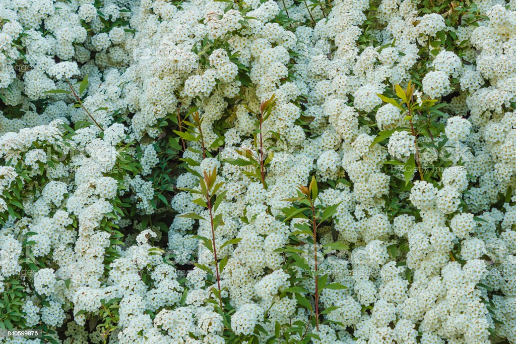 a bush of white  spirea flowers stock photo