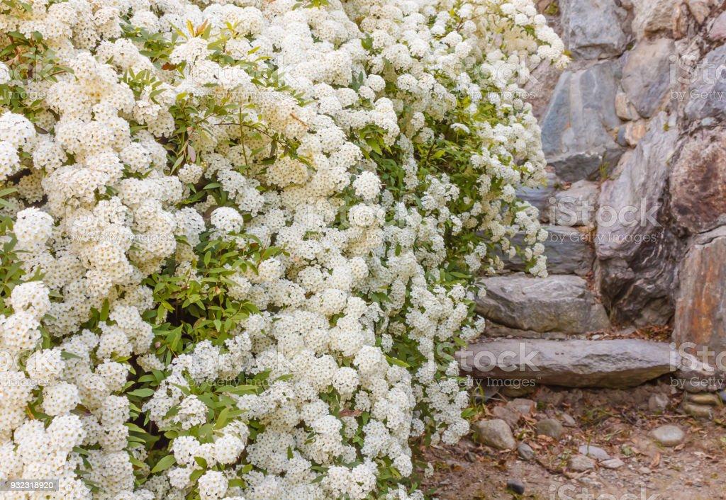 a bush of white spirea flowers stock photo