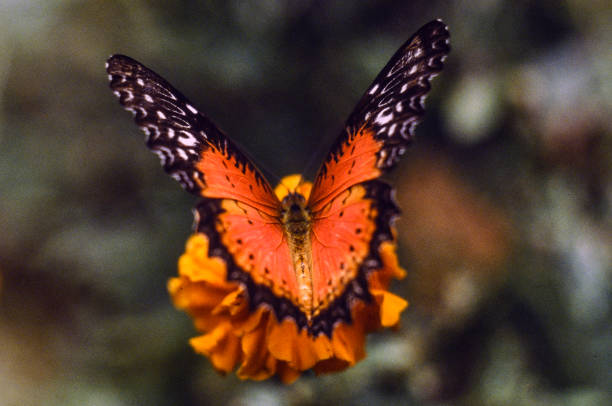a butterfly landing on a yellow flower stock photo