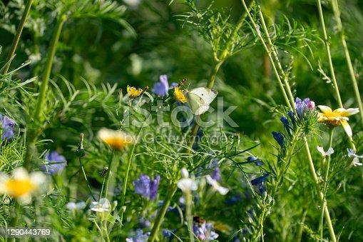 istock a butterfly on a dandelion in a field of flowers 1290443769