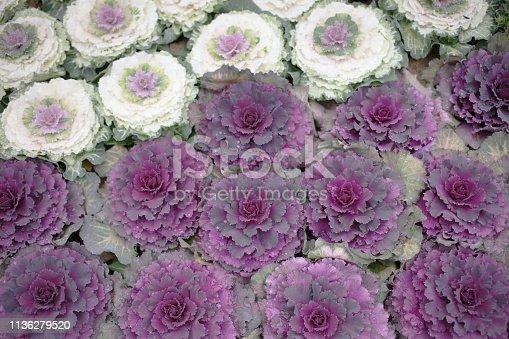 cabbage Brassica oleracea acephala with a heart