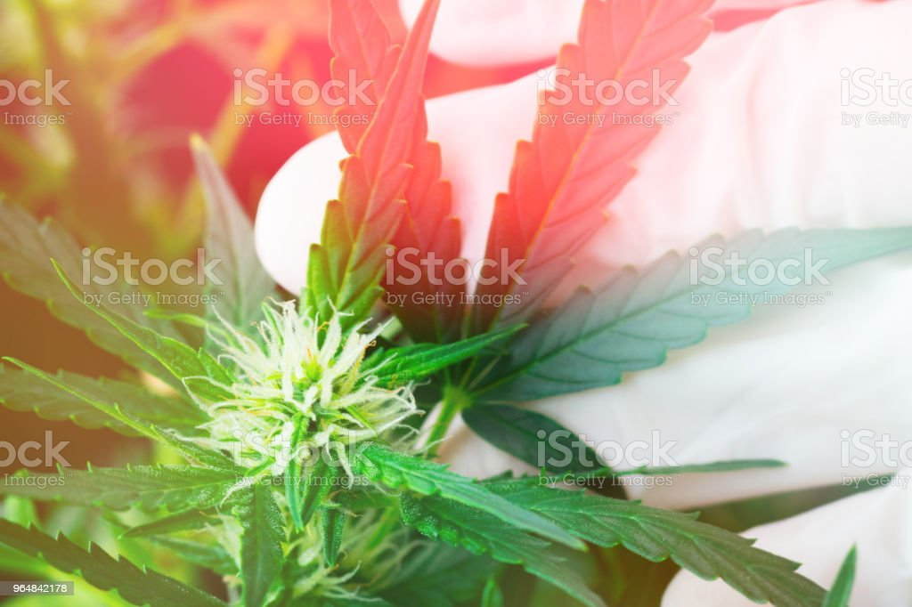 a cannabis Macro flower leaf and a man's hand a concept of natur Light toning royalty-free stock photo