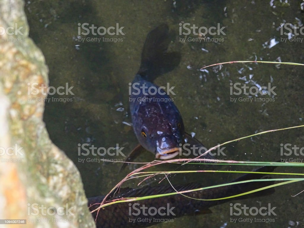 a carp on the surface stock photo