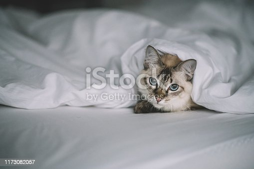 a cat hiding himself under the blanket in the morning looking at camera
