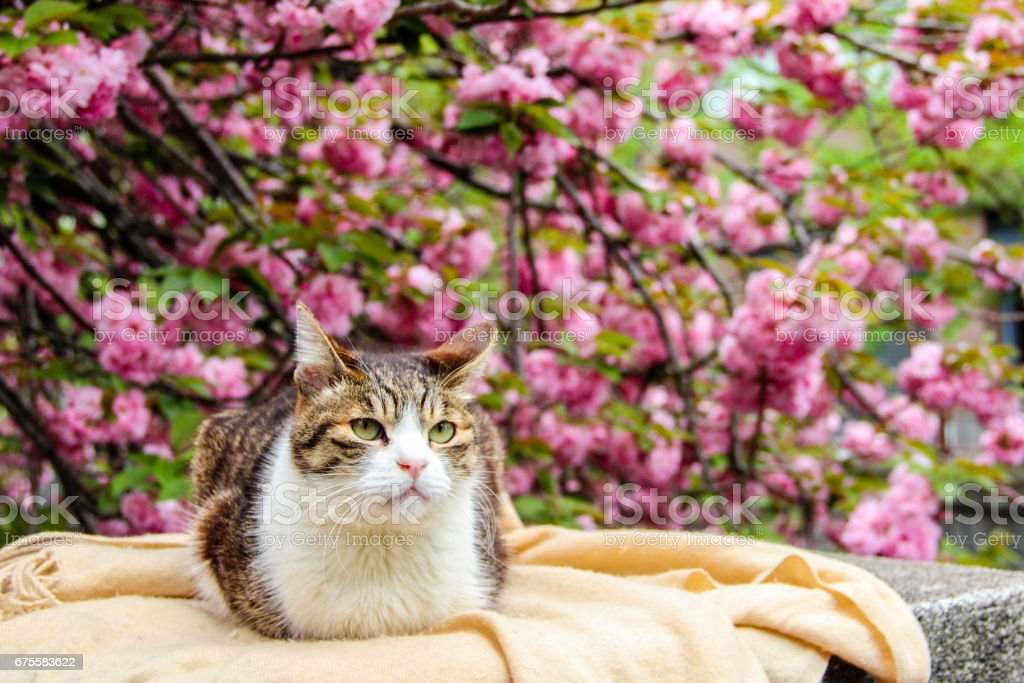 a cat with the sakura or cherry bossom background in park tokyo of japan foto de stock royalty-free