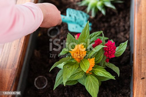 a child holds a turquoise shovel and plants Celosia argentea, close-up