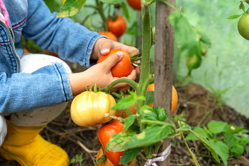 a child picks ripe tomatoes from a branch. harvest concept. hands close up