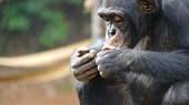istock a chimpanzee eats peanuts, looks like he's enjoying his food. his gestures are very similar to human beings. It is located in the middle of the rainforest in the Tacugama Sanctuary, Sierra Leone 1250430990