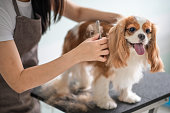 a chinese female dog groomer grooming a Cavalier King Charles Spaniel dog