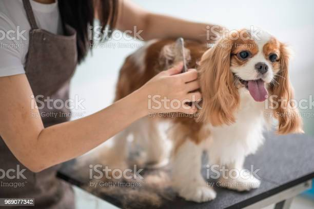A chinese female dog groomer grooming a cavalier king charles spaniel picture id969077342?b=1&k=6&m=969077342&s=612x612&h=svrese fsuhtkg2bxiqm2ygqw 6kz5w2aa95 isepxk=
