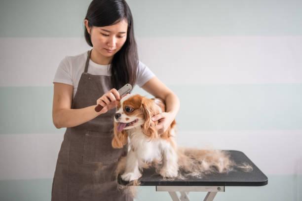 eine chinesische hündin groomer grooming einen cavalier king charles spaniel hund - entfernen von tierhaaren stock-fotos und bilder