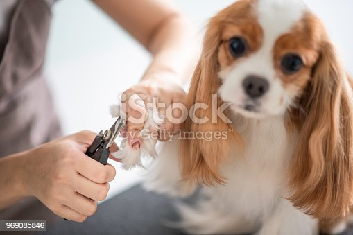 istock a chinese female dog groomer grooming a Cavalier King Charles Spaniel dog 969085846