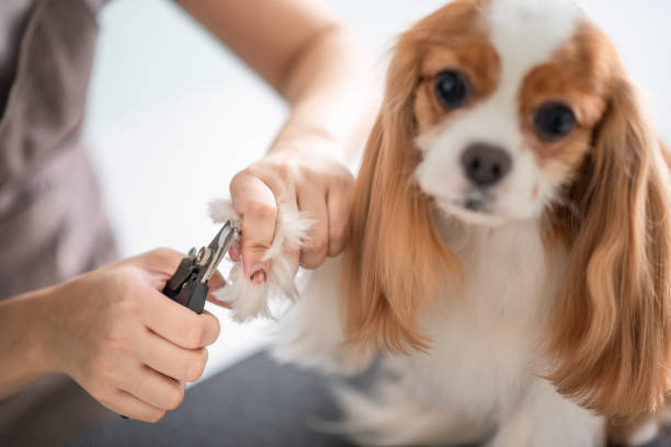 A chinese female dog groomer grooming a cavalier king charles spaniel picture id969085846?b=1&k=6&m=969085846&s=612x612&w=0&h=zlxppafkmlpa0lnteuupzyu 54drqwmlswsz6heodpq=