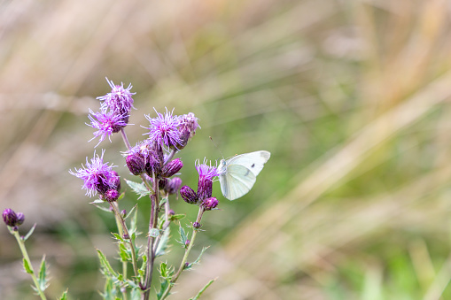 a close up of a white butterfly sitting on a purple dyeing flower. purple plant with an insect on the bloom