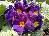 una foto ravvicinata di un gruppo di colorate primule viola in fiore