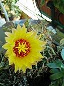 una foto ravvicinata di un colorato rigoglioso fiore di cactus giallo fotografato in una terrazza giardino