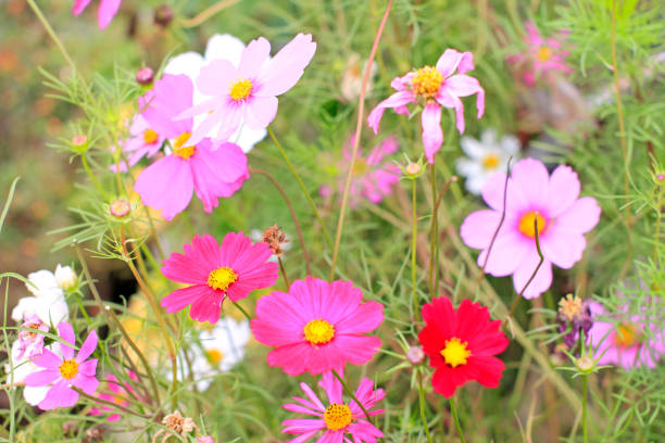 a Cosmos flower on a green background