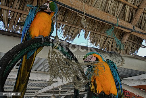Close view of two blue and yellow parrots on a perch