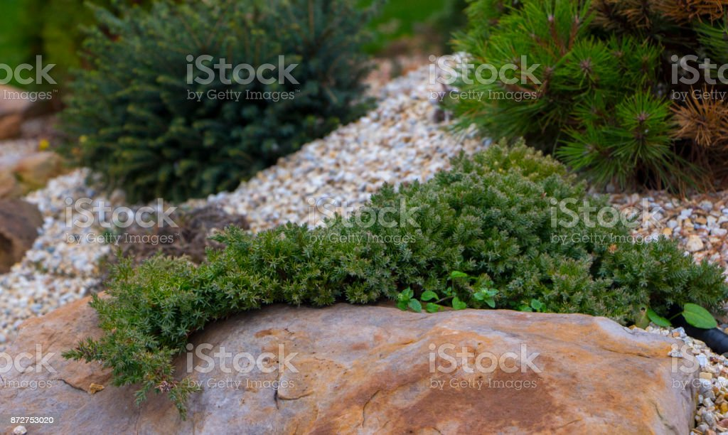 a creeping elm hanging from a quartzite stone made of rock carrion filled with marble crumb and pine bark stock photo