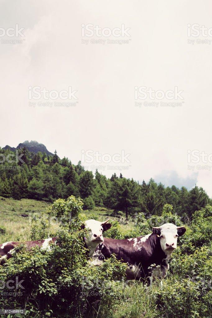 a curios cow stock photo