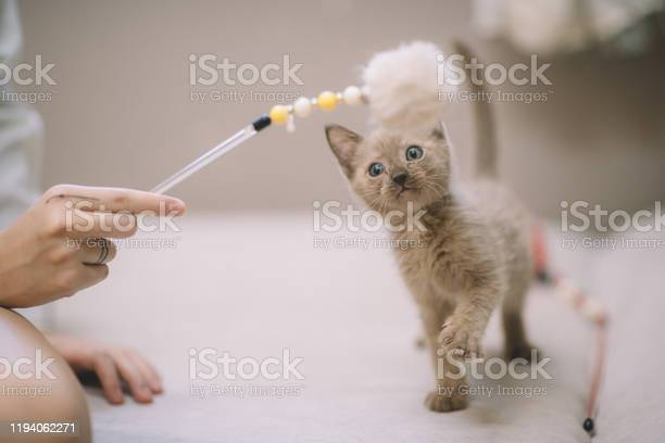 A curious cat kitten looking at the toy stick holding by the owner picture id1194062271?b=1&k=6&m=1194062271&s=612x612&h=u635oiwfmq 7fsjkaggt97tlxwoiq5ko5mo vdccx2s=