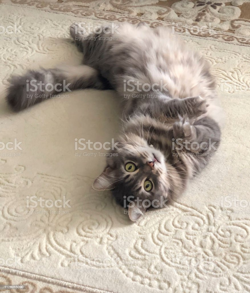 a cute gray cat lying on the back on a carpet stock photo