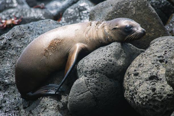 a cute sea lion lying on the rocks on the beach stock photo