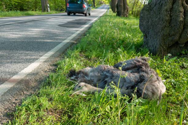 Ein toter Nandu liegt nach einer Kollision mit einem Auto neben der Straße – Foto