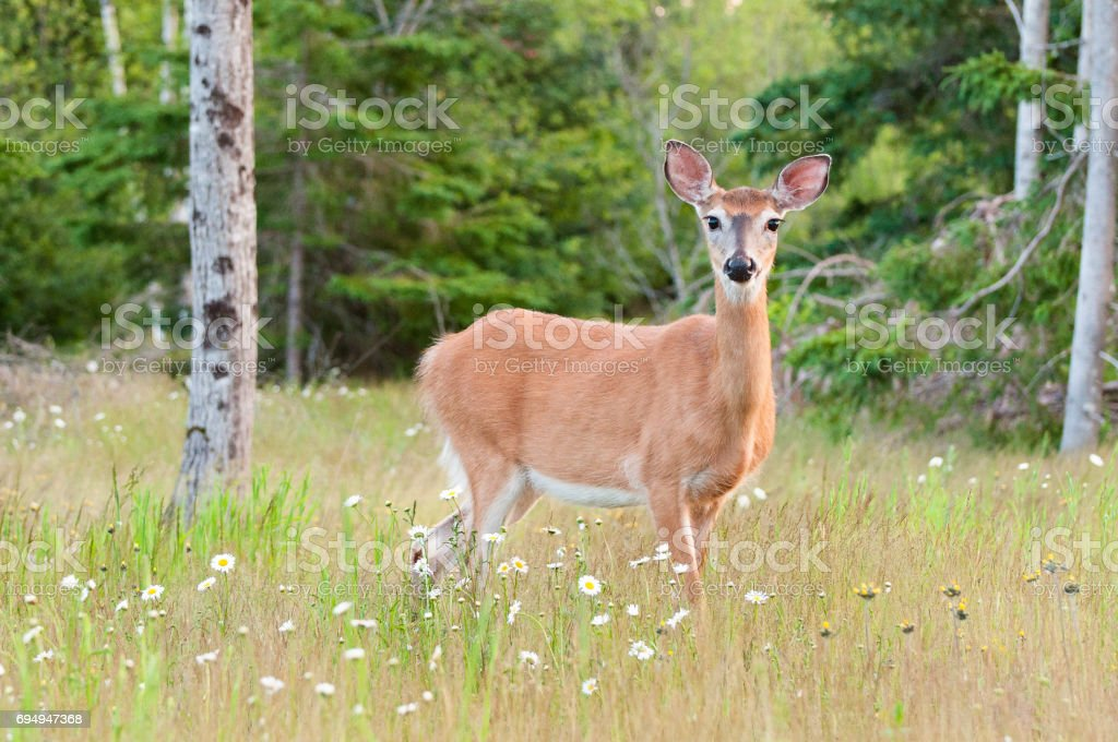 a deer in a field stock photo