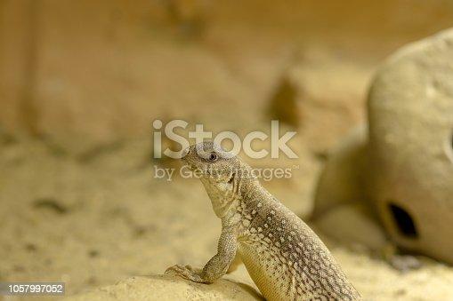 istock a desert iguana on the rock 1057997052