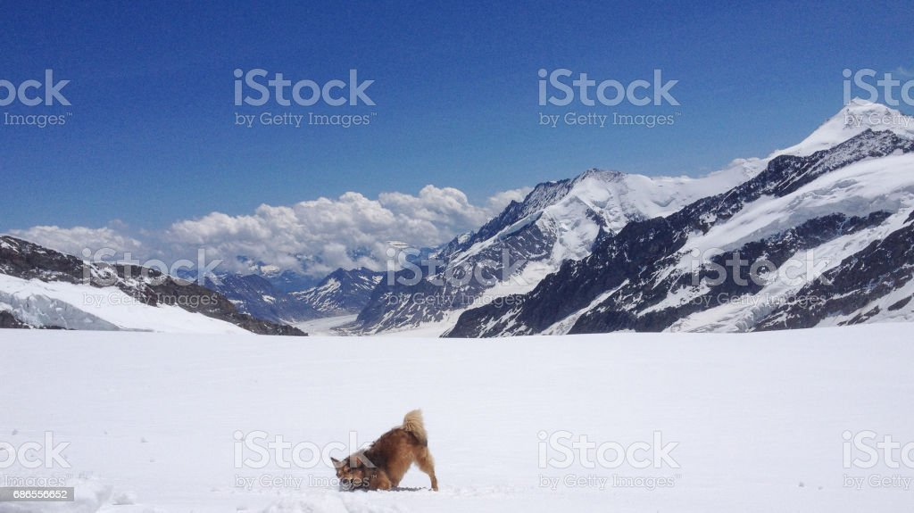 a dog playing with snow in front of Aletsch Glacier, Canton of Valais, Switzerland photo libre de droits
