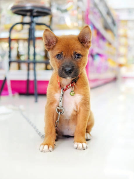 a dog training for security in pet shop - pet shop and dogs not cats stock pictures, royalty-free photos & images