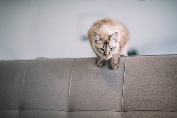 A domestic cat on a sofa preparing to jump picture id1173082062?b=1&k=6&m=1173082062&s=612x612&w=0&h=74f vzmlmlqg08 bhaegimzotkaudnvhn1kug5xs2cc=