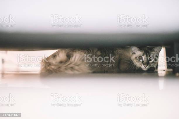 A domestic pet cat hiding under the bed looking picture id1173081471?b=1&k=6&m=1173081471&s=612x612&h=ueajdal7h6eqihzf99dadcg87m0k6b m3o9r1nqiebq=