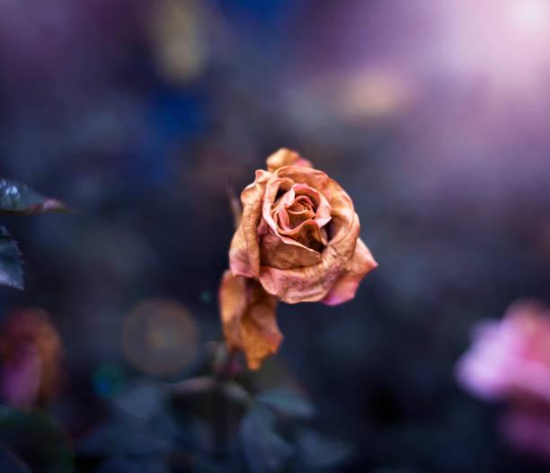 A dried rose in the garden picture id872210880?b=1&k=6&m=872210880&s=612x612&w=0&h=ctq1 h8ua aqw17chp8zjgzwx3uckyxpcwykimd pnu=