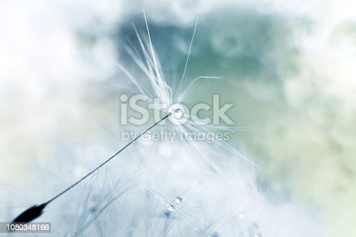 istock a drop of water on a dandelion. dandelion on a blue background with  copy space close-up 1080348166