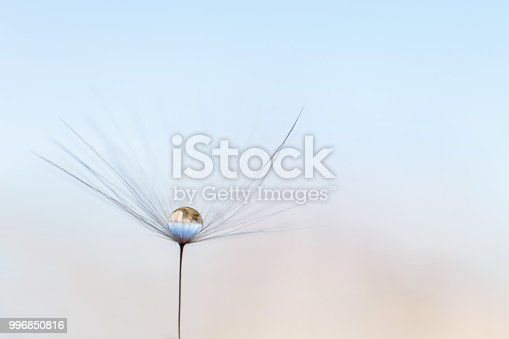 istock a drop of water on a dandelion. dandelion on a blue background with  copy space close-up 996850816