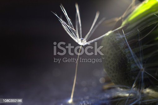 istock a drop of water on a dandelion. dandelion on a blue dark background with  copy space close-up 1080350186