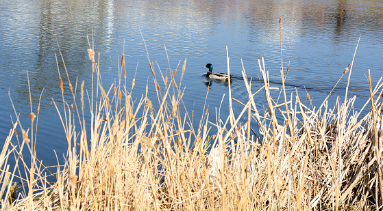 a duck swims in the pond of the Park