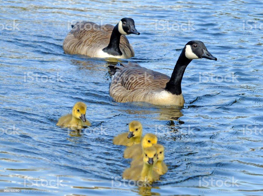 een familie van Canadese ganzen met gele pluizig goslings zwemmen in een blauwe meer - Royalty-free Afbeelding Stockfoto