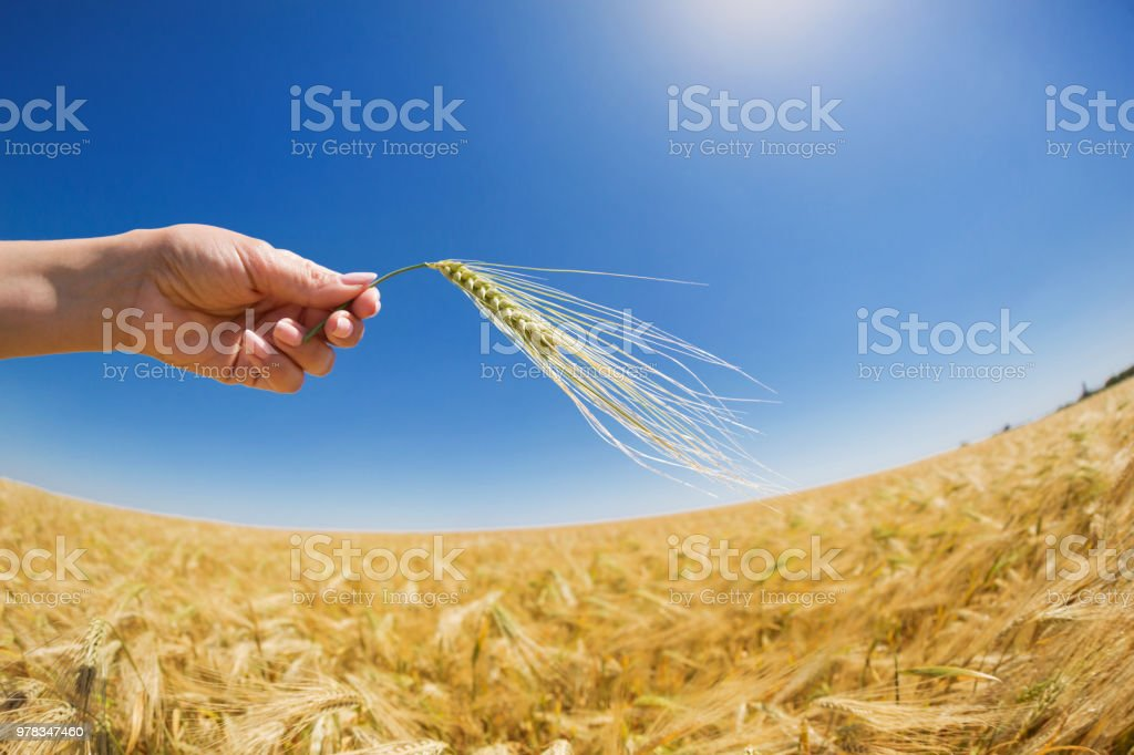 A Female Hand Holds Wheat Spikes On A Background Of A Golden