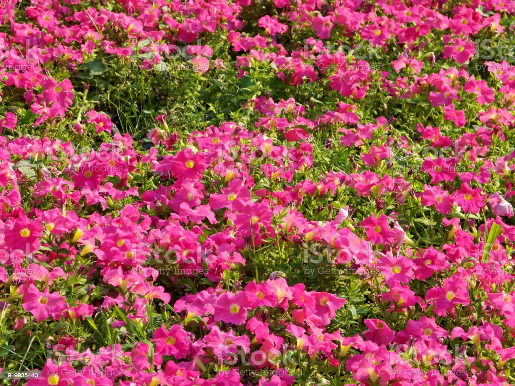 A Field Of Pink Flowers Stock Photo More Pictures Of Agriculture