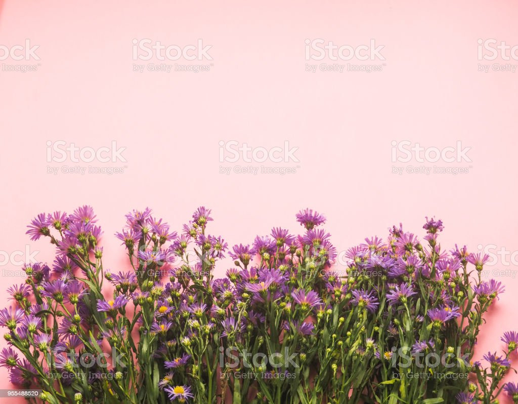a field of small blue flowers on a pink background, as an underlay, background, space for text stock photo