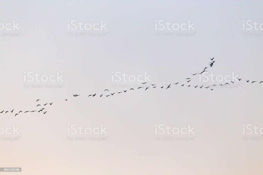 a flock of birds at sunset stock photo